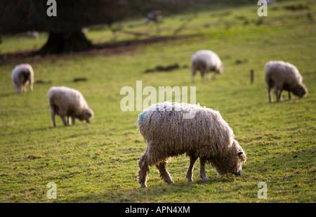Un rebaño de ovejas en león Cotswold el invierno Colesbourne Estate Gloucestershire UK