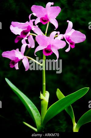 Rosa orquídea Dendrobium tomadas en la Casa de las orquídeas en el Parque Palmitos, Gran Canaria