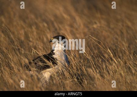 África Kenia Reserva Nacional de Samburu Polemaetus bellicosus Águila marcial de pie en la hierba alta al atardecer Foto de stock
