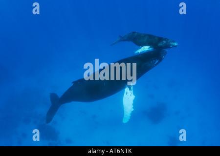 Ny0181-D. Las ballenas jorobadas Megaptera novaeangliae, madre y la pantorrilla. Foto Copyright Brandon Cole