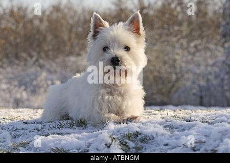 West Highland White Terrier (Canis lupus familiaris) f., a los 12 años de edad, hembra Foto de stock