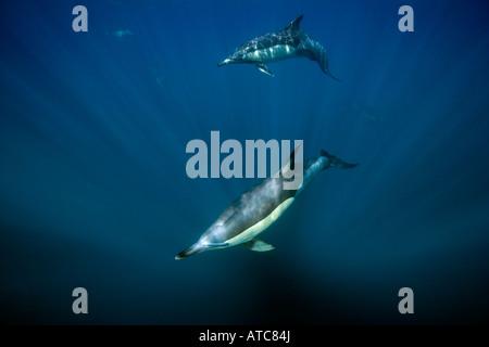 Largo delfines comunes picuda Delphinus capensis Costa Salvaje Transkei Sureste de África Océano Índico Mozambique