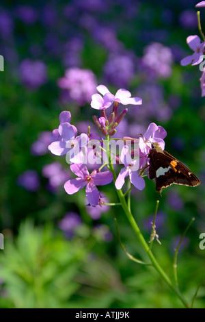 Mariposa sobre una flor morada. Foto de stock