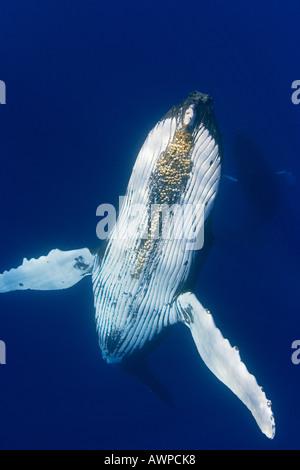 La ballena jorobada, Megaptera novaeangliae, con bellota parasitaria percebes bajo el mentón, Cornula diaderma, Hawai, Océano Pacífico