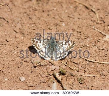 Común patrón ajedrezado Pyrgus Pyrgus patrón cuadriculado blanco communis albescens Butterfly indistinguibles en Field Arizona