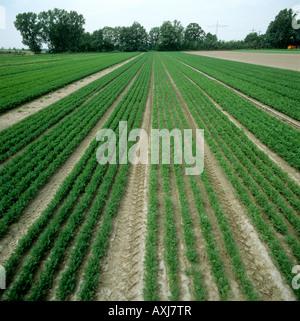 Mirando las hileras de cultivos de zanahorias en dos tramos cerca de Ludwigshafen, Alemania Foto de stock