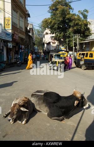 Vacas sagradas en las calles de Dungarpur, Rajasthan, India