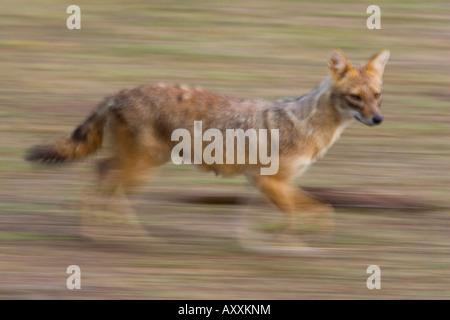 El Chacal, India (Canis aureus), Bandhavgarh N.P., Madhya Pradesh, India