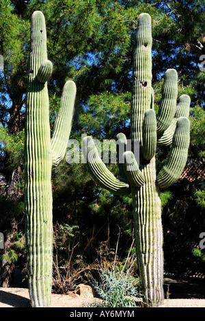 Cacto Saguaro en Phoenix, Arizona, suroeste de América del Norte