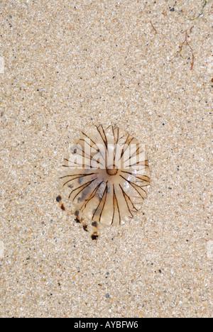 Una brújula Medusa Chrysaora hyoscella varados en una playa de arena