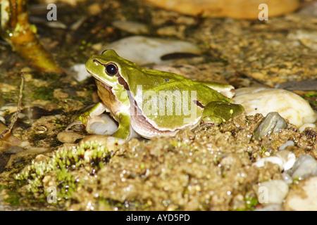 Hyla Arborea, Europäischer Laubfrosch
