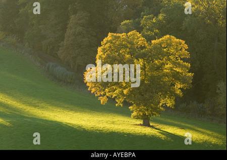 Árbol de sol por la noche cerca de Dryburgh, Scottish Borders, Escocia Foto de stock
