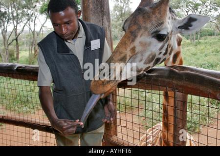Visitante alimenta jirafa con larga lengua azul en refugio cerca de Nairobi Kenya África