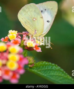 Una nublado, Colias philodice mariposas de azufre, está sentada en una flor de Lantana y fuentes. Oklahoma, Estados Unidos.
