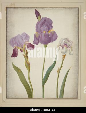 Iris germanica (izquierda) e Iris pallida (derecha), iris barbado