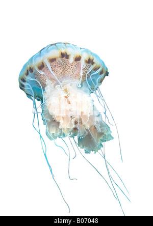 Brújula medusa Chrysaora hyoscella Jellyfishs Cnidaria Scyphozoa Mar Mediterráneo Murcia España