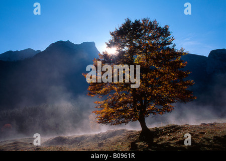 Sycamore arce (Acer pseudoplatanus) árbol, Grosser Ahornboden, rango de Karwendel, Tirol, Austria