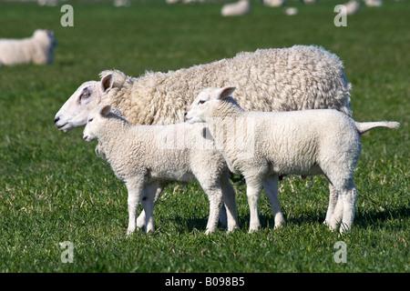 Ovejas domésticas (Ovis aries) con dos corderos en una pastura