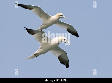 Norte de Gannett Morus bassanus en vuelo Foto de stock