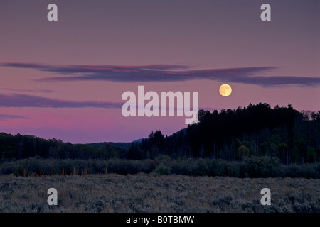 Luna de la cosecha se eleva al atardecer a lo largo de álamos y pinos Grand Teton Nat l Pk Wyoming