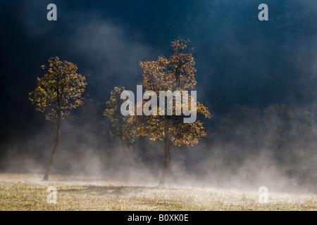 Austria, Tirol, Karwendel, Campo Árbol de arce en la niebla de la mañana temprana