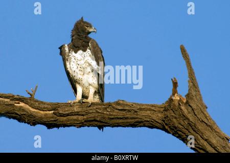 El águila marcial (Polemaetus bellicosus, Hieraaetus bellicosus), sentado en una rama, Kenya, Reserva Nacional de Foto de stock