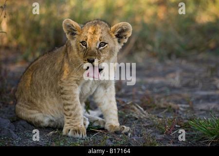 Closeup gracioso bebé de ojos brillantes cachorro de león pegando su lengua fuera cara en cálido sol, hábitat natural Moremi Delta del Okavango Botswana