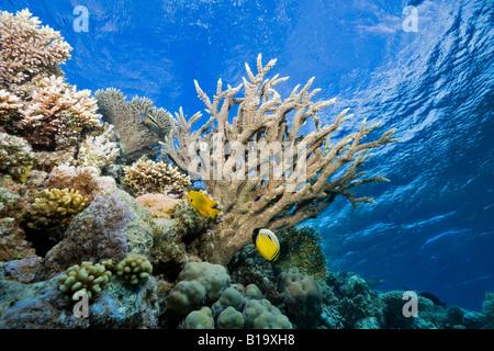 Un pólipo Butterflyfish y una damisela de azufre en la base de la alimentación o la cornamenta Coral de Cuerno de Ciervo en un arrecife del Mar Rojo cerca de Hurghada.