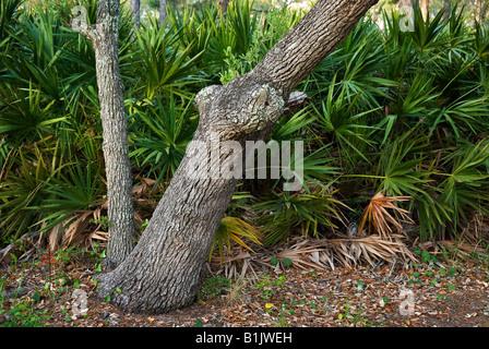 Scrub o arena Live Oak Quercus geminata y saw palmetto Serenoa repens en St George Island State Park Florida Foto de stock
