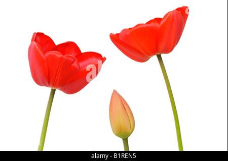 Tulipanes rojos (Tulipa) Foto de stock