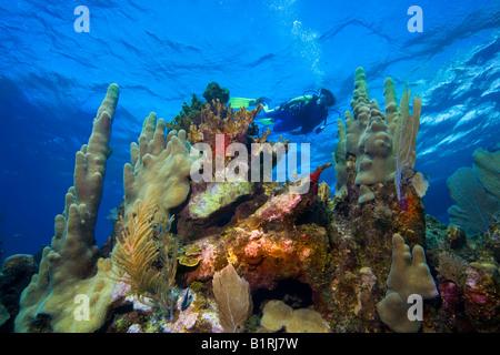 Buceo en aguas poco profundas, arrecifes de coral, el Caribe, Roatán, Honduras, América Central