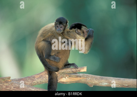 Llorona o Black-capped capuchino (Cebus nigrivittatus), con jóvenes sobre su espalda