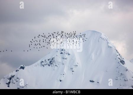 De la migración de las aves playeras en el Delta del Río cooperativa coperativa de Bosque Nacional Chugach Cordova Alaska