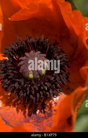 Amapola Roja flor derramando polen