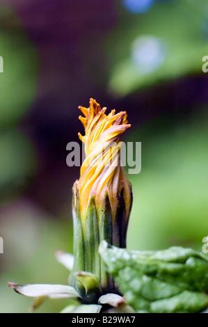 Cerca de JARAMAGO 'cerrado' como la cabeza de la flor a la semilla TRANSFORMES paracaídas Foto de stock