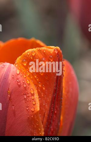 Waterdrops sobre un tulipán rojo (Tulipa), imagen macro, Carintia, Austria, Europa Foto de stock