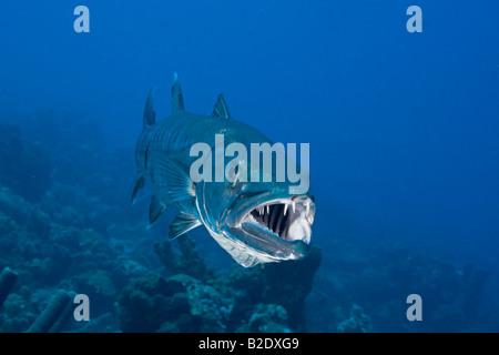 Gran barracuda, Sphyraena barracuda, puede alcanzar tanto como seis pies de longitud, Bonaire, Mar Caribe.
