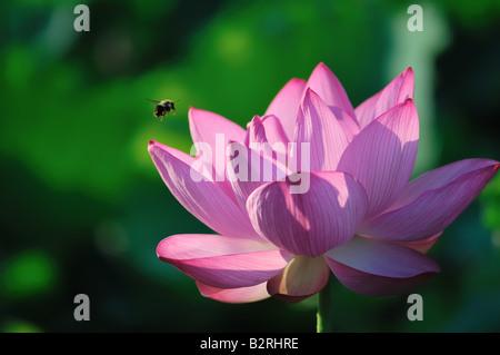 Una abeja vuela a primera hora de la mañana un bocadillo en una flor de loto en flor.