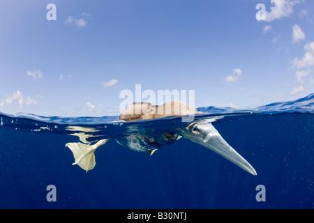 Young Brown Booby Sula leucogaster atolón Bikini de las Islas Marshall Micronesia Océano Pacífico