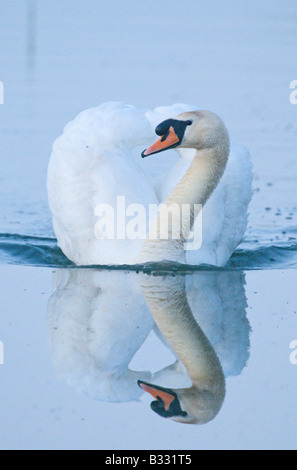 Cisne Cygnus olor macho cob Cley Norfolk Abril