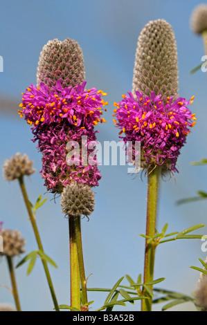 Las praderas de trébol violeta (Dalea purpurea), floración