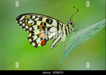 Mariposa Papilio demoleus limón encaramado en adultos cautivos de hoja Foto de stock