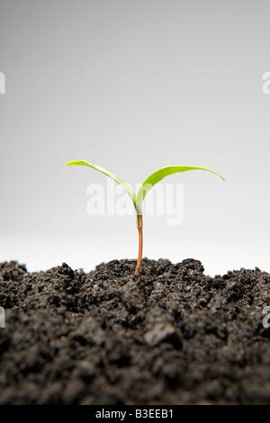 Retoño creciente del suelo