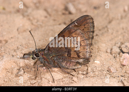 Norte Cloudywing Thorybes pylades Foto de stock
