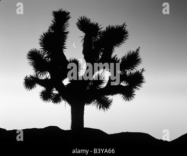 Joshua Tree luna encuadre al amanecer cerca de Lone Pine, California ...