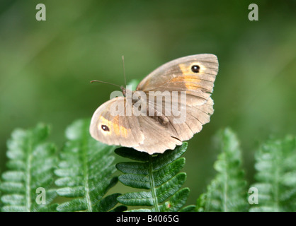 Una hembra Meadow Brown (Maniola jurtina) butterfly