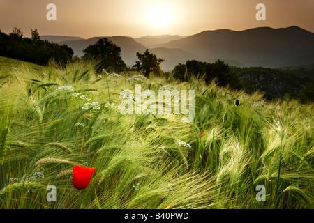 Amanecer en un campo de cebada con vistas a la Valnerina cerca Meggiano, Umbría. Foto de stock