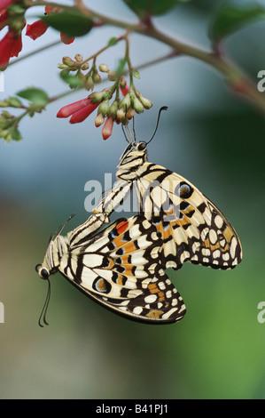 Mariposa Papilio demoleus limón par cautivos de acoplamiento Foto de stock