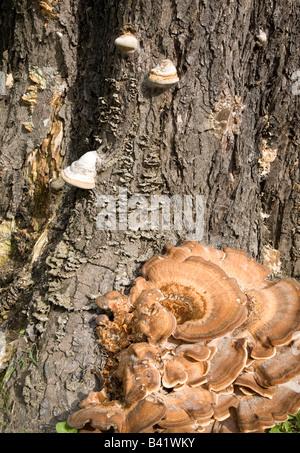 Turquía tail Trametes versicolor sobre tronco atree