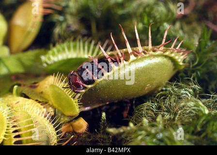 La botánica, la Venus atrapamoscas (Dionea muscipula), con mosca, planta carnívora, Droseraceae, Dilleniidae, carnívoros, trampa,